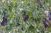 Indian Flying Foxes in a tree - Nagarhole India
