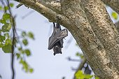 Indian Flying Fox in a tree - Nagarhole India