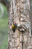 Greater Flameback on a trunk - Nagarhole India