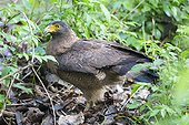 Crested Serpent Eagle on ground - Nagarhole India