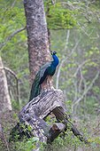 Male Indian Peafowl on a twisted trunk - Nagarhole India