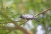 House Crow on a branch - Nagarhole India