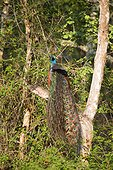Indian Peafowl on a branch - Nagarhole India