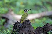 Streak-throated Woodpecker on a mound - Nagarhole India