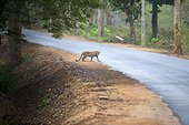 Indian Leopard crossing a road - Nagarhole India