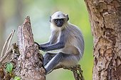 Young Hanuman Langur on a branch - Nagarhole India