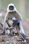 Hanuman Langur and young - Nagarhole India