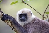 Portrait of Hanuman Langur - Nagarhole India