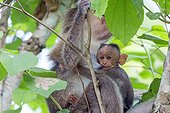 Bonnet macaque feeding her young - Nagarhole India