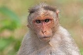 Portrait of Bonnet macaque - Nagarhole India