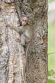 Young Bonnet macaque on a trunk - Nagarhole India