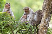 Bonnet macaques and youngs - Nagarhole India