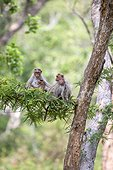 Bonnet macaques and youngs on branch - Nagarhole India