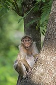 Bonnet macaque on a trunk - Nagarhole India