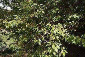 Maqui in National Botanical Garden - Chile