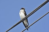 Violet-green Swallow on a wire - Chile