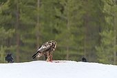 Golden eagle eating in snow - Finland