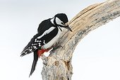 Great Spotted Woodpecker on a branch in winter - Finland