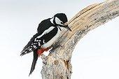 Pic épeiche femelle sur une branche en hiver - Finlande