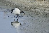 Sacred Ibis catching an eel - France