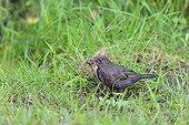 Blackbird female gathering material for his nest - France