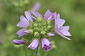 Musk-mallow blossom - Alpes France