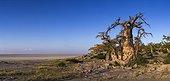 Baobab trees on Kubu Island - Makgadikgadi Pan Botswana
