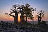 Baobab trees at sunrise on Kubu Island - Makgadikgadi Pan