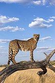 Cheetah using dead branch as a advantage point - Namibia
