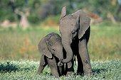 Young African Elephants playing - Okavango Delta Botswana