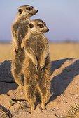 Meerkats warmin up in the early morning sun - Botswana