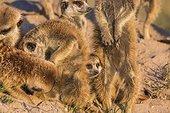Meerkats grooming - Botswana ; Mutual grooming is an important social activity