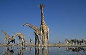Southern Giraffes drinking at waterhole - Etosha Namibia