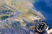 Fly fishing of European Grayling - River Loue France