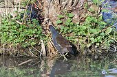 Moorhens and young on the bank - Switzerland ; Day-old chicks