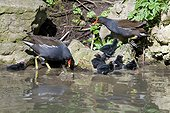 Moorhens and youngs on the bank - Switzerland ; Day-old chicks