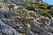 Alpine ibex and young - Massif Bargy France ; Moulting spring