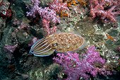 Broadclub cuttlefish on the reef - Thailand