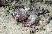Flasher Scorpionfish on sand - Cebu Philippines