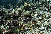 Banded Sea Krait above the bottom - Cebu Philippines