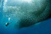 Schoal of Sardinellas and diver - Cebu Philippines