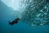 Diver and Bigeye Trevally - Cabo Pulmo Sea of Cortez Mexico