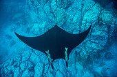 Manta Ray above the bottom - Socorro Revillagigedo Mexico