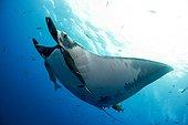 Manta Ray under the surface - Socorro Revillagigedo Mexico