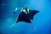 Manta Ray and diver - Socorro Revillagigedo Mexico
