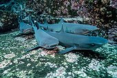 Whitetip Reef Shark on bottom - Socorro Revillagigedo Mexico ; Roca partida
