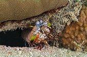 Mantis Shrimp in the reef - Cebu Philippines