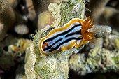 Nudibranch Anna's Chromodoris on the reef - Cebu Philippines