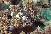 Glass Anemone Shrimp on the reef - Cebu Philippines