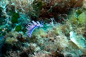 Pink Flabellina on reef - Corse France